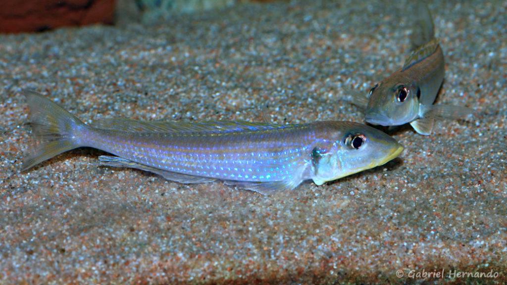 """Xenotilapia sp. """"kilesa"""" (Club aquariophile de Vernon, décembre 2007)"""