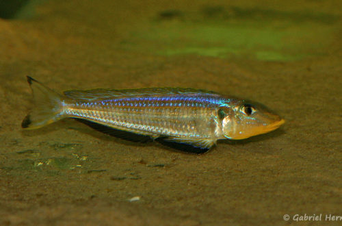 "Xenotilapia sp. ""kilesa"" (Aquabeek, Pays Bas, mars 2011)"