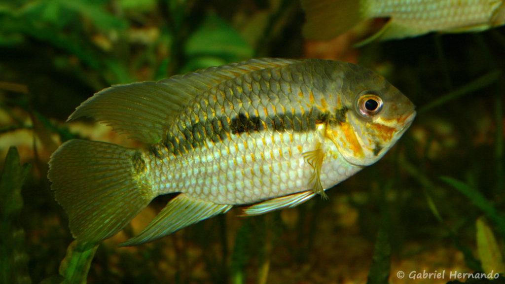 Krobia xinguensis (Club aquariophile de Vernon, juin 2004)