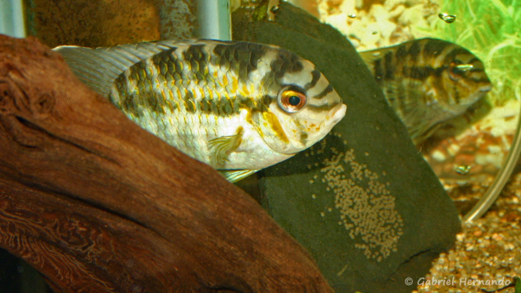 Krobia xinguensis, avec sa ponte (Club aquariophile de Vernon, mars 2007)