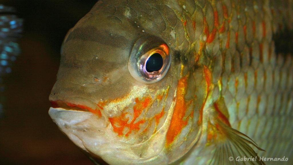 Krobia xinguensis (Club aquariophile de Vernon, juillet 2008)