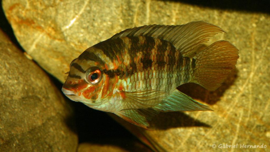 Krobia xinguensis (Club aquariophile de Vernon, novembre 2008)