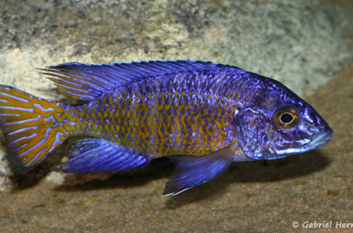 Aulonocara stuartgranti, mâle de la variété de Ngara
