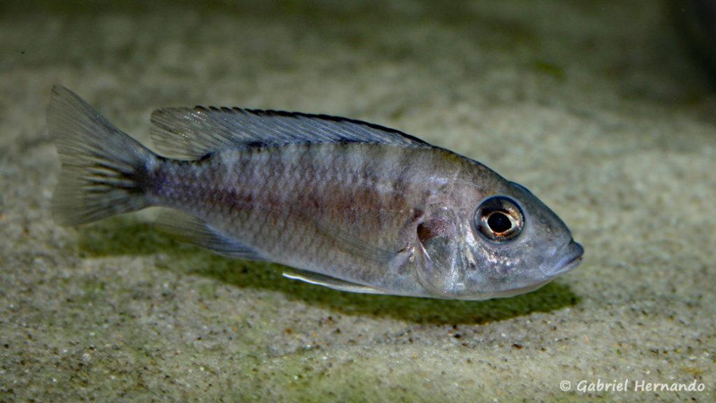 Aulonocara stuartgranti, femelle en incubation, de la variété de Ngara