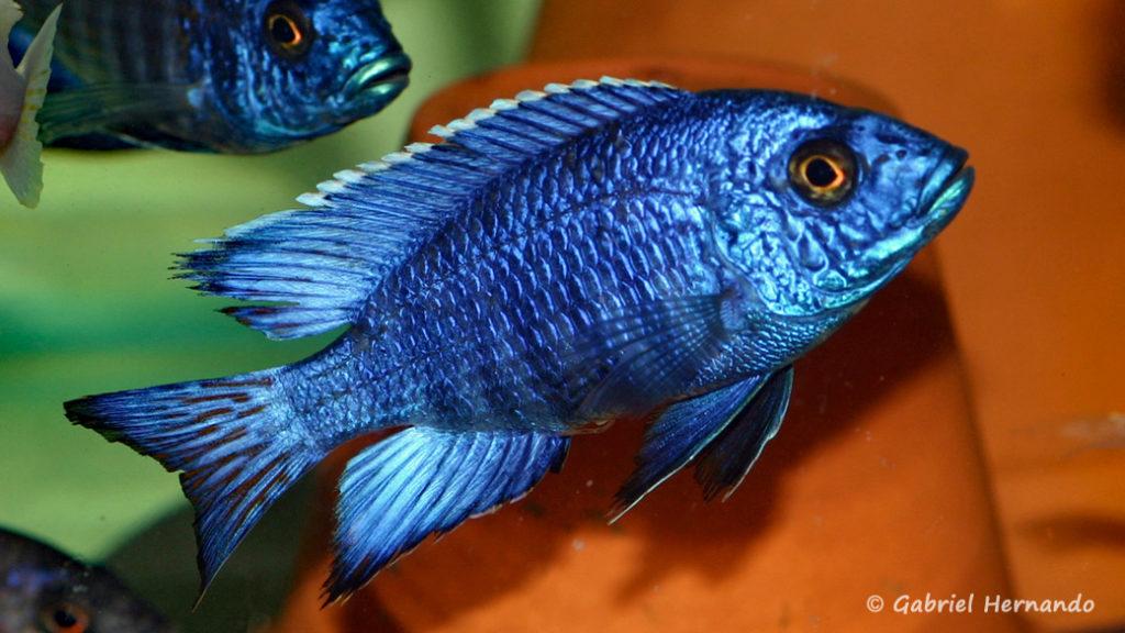 Aulonocara stuartgranti, mâle de la variété de Chilumba