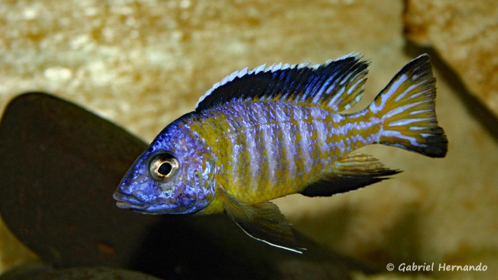 Aulonocara stuartgranti, mâle de la variété de Usysia