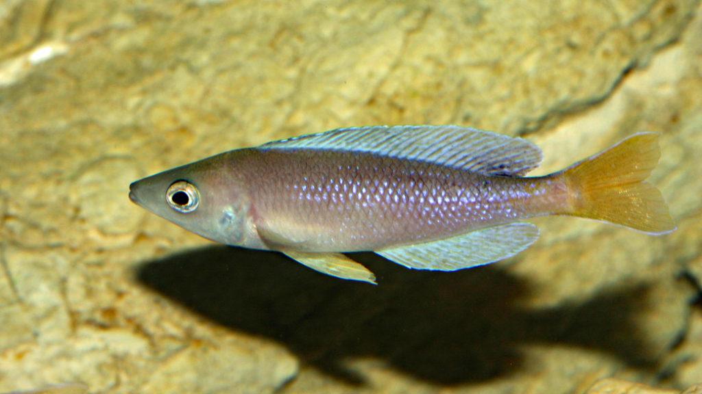 Cyprichromis leptosoma, variété de Kigoma (Chez V. Chamayou, septembre 2009)