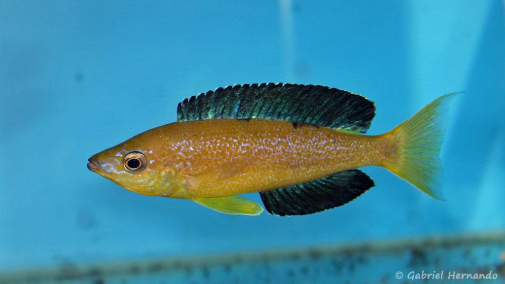 Cyprichromis microlepidotus, variété de Karilani (Abysse, septembre 2006)