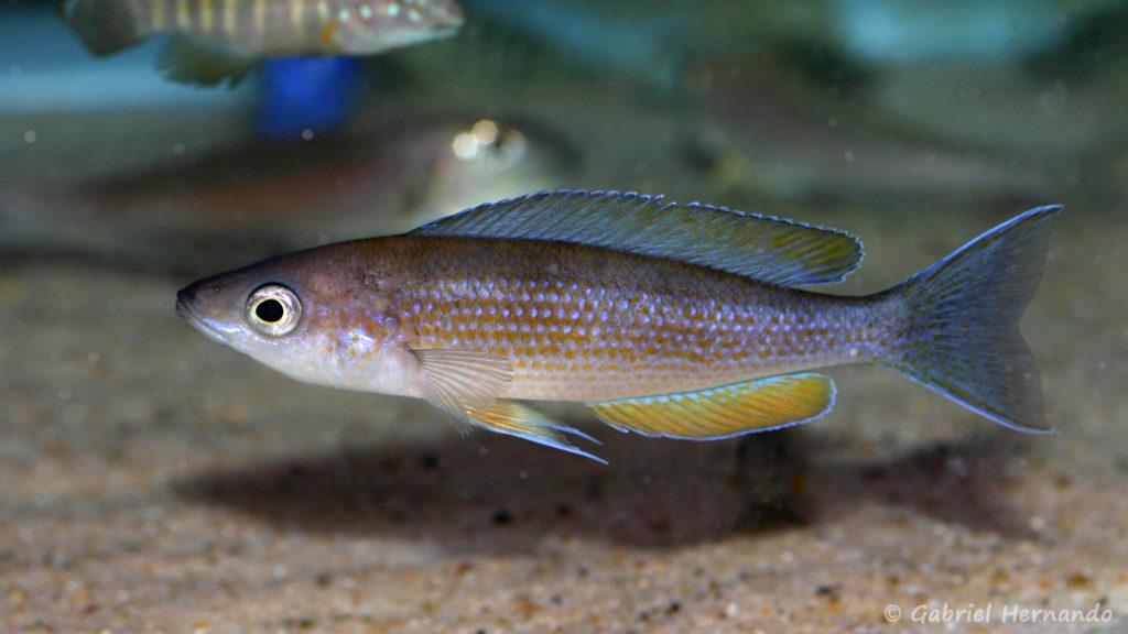 Cyprichromis pavo, variété de Sibwesa ( Arlon, congrès de mai 2008)