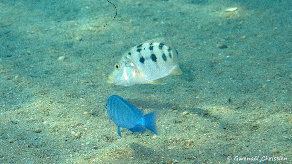 Fossorochromis rostratus et Cyrtocara moorii, in situ à Masinje