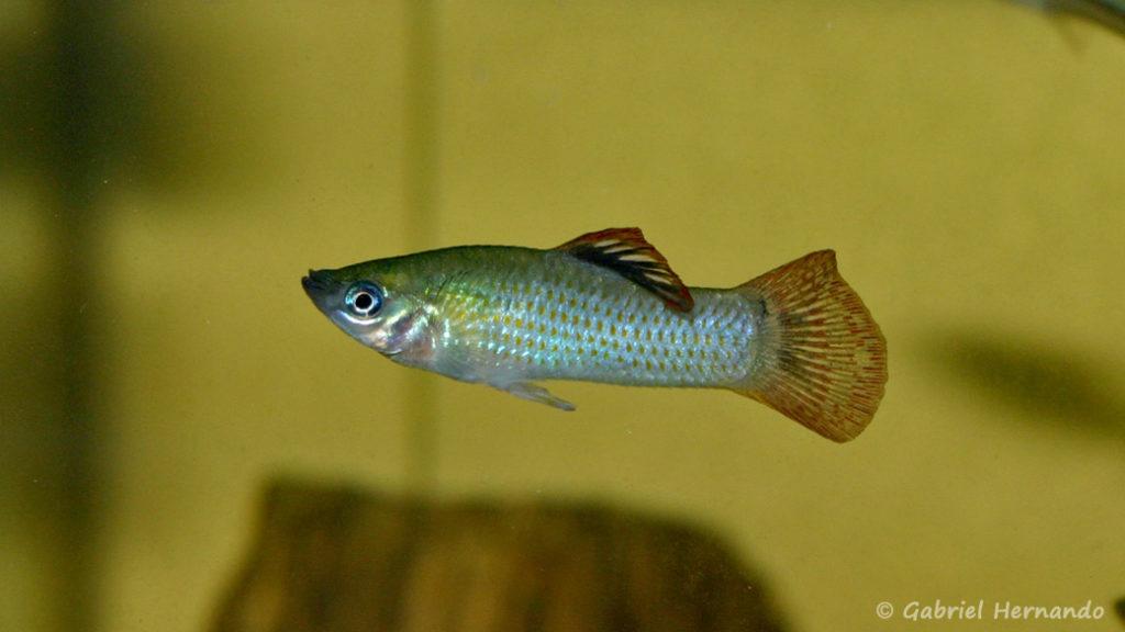 Poecilia salvadoris, mâle de la variété San Lorenzo, Nicaragua (Club aquariophile de Vernon, juillet 2007)