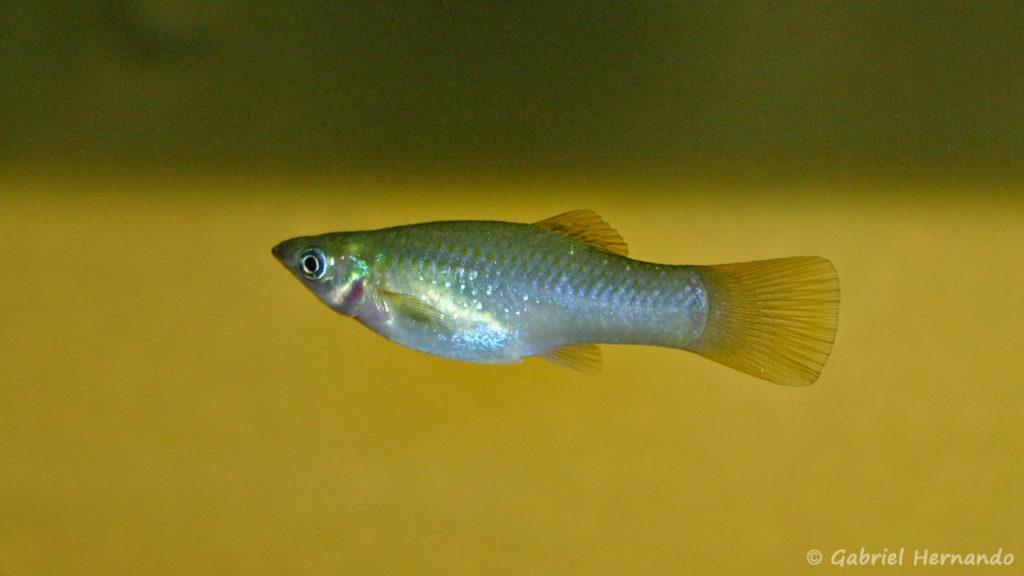 Poecilia salvadoris, femelle de la variété San Lorenzo, Nicaragua (Club aquariophile de Vernon, juillet 2007)