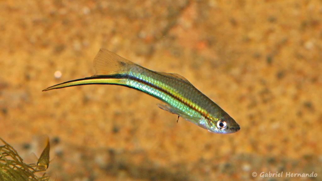 Xiphophorus helleri , variété de Hacienda Lencero, Xalapa (Expo AFV, Pont L'Evêque, septembre 2009)