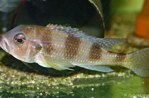 Limnochromis auritus (Aquabeek, mars 2009)