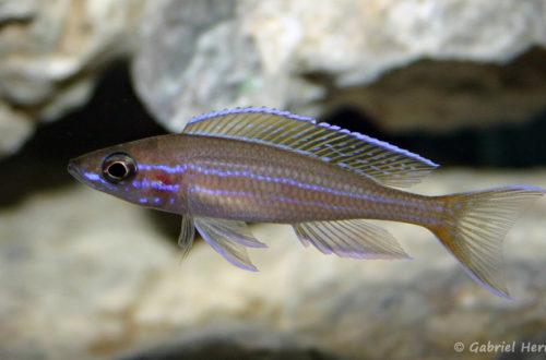 Paracyprichromis nigripinnis (Club Aquariophile de Vernon, janvier 2005)
