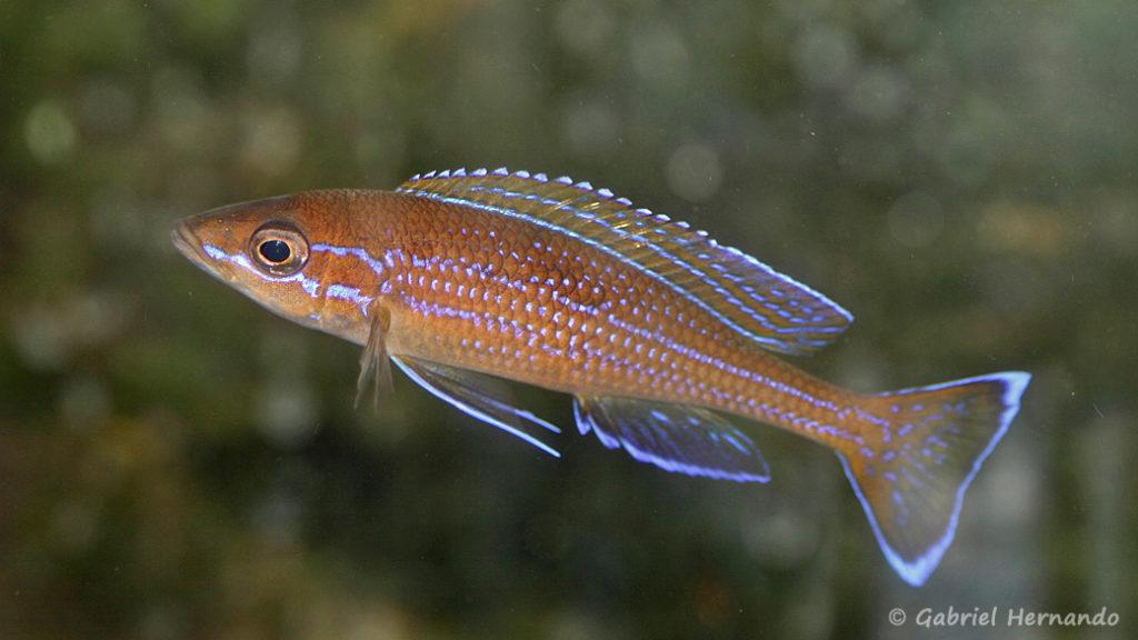 Paracyprichromis sp. aff. nigripinnis (chez Heinz Büscher, décembre 2008)