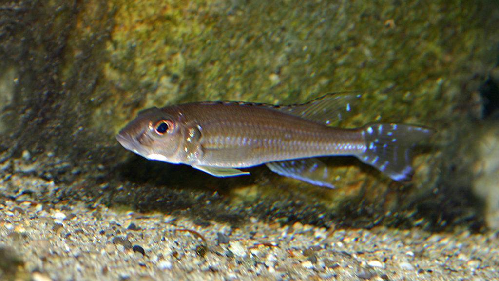 Reganochromis calliurus (chez Mike Pfann, Suisse, décembre 2008)