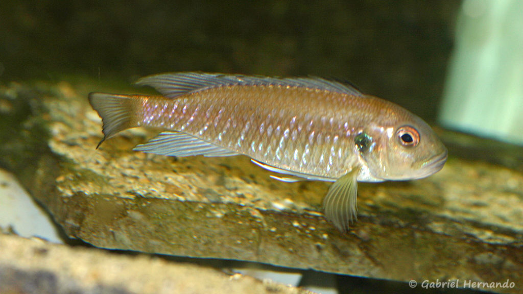 Triglachromis otostigma (chez Mike Pfann, Suisse, décembre 2008)