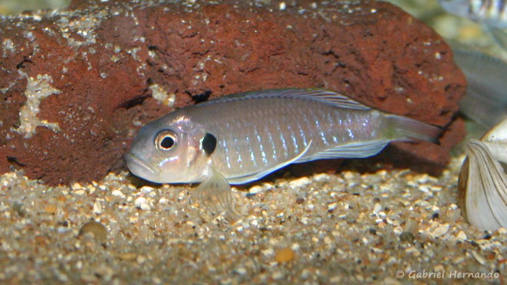 Triglachromis otostigma (chez Benoît Jonas, juillet 2009)