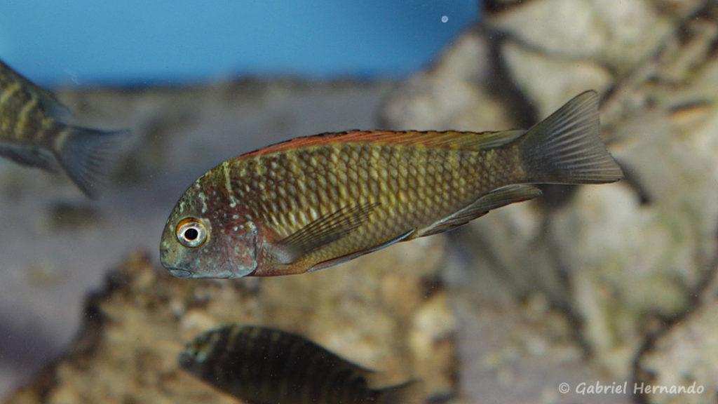 Tropheus moorii, variété de Ilangi (Aqua Treff, Duisbourg, Allemagne, mai 2005)