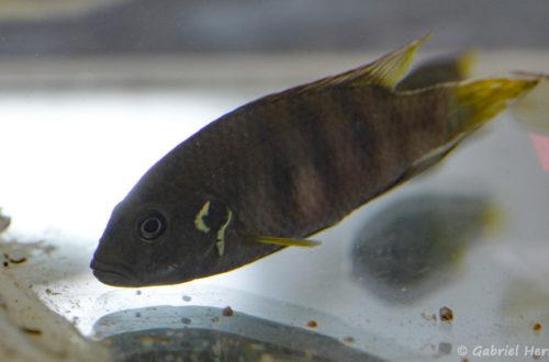 Benitochromis batesii (Montereau-Fault-Yonne, congrès AFC 2019)