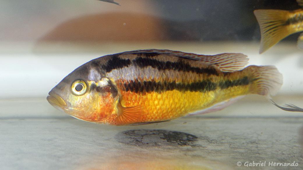 """Haplochromis sp. """"Iringo"""" (Montereau-Fault-Yonne, congrès AFC 2019)"""
