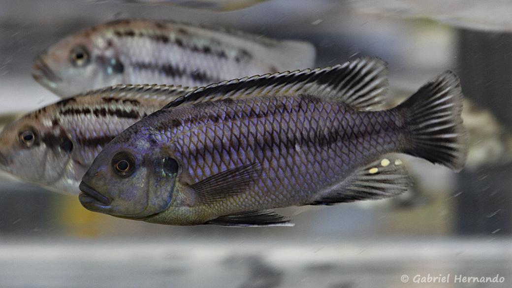 Petrotilapia genalutea, variété de Luwana Reef (Montereau-Fault-Yonne, congrès AFC 2019)