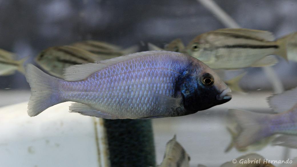 """Placidochromis sp. """"phenochilus gissel"""" (Montereau-Fault-Yonne, congrès AFC 2019)"""