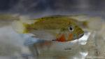 Haplochromis brauschi (Montereau-Fault-Yonne, congrès AFC 2019)