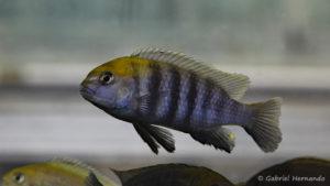 """Tropheops sp. """"Macrophthalmus Chitimba blue"""" (Montereau-Fault-Yonne, congrès AFC 2019)"""