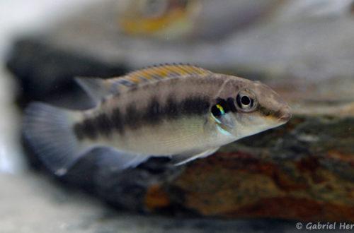 Wallaceochromis rubrolabiatus (Montereau-Fault-Yonne, congrès AFC 2019)