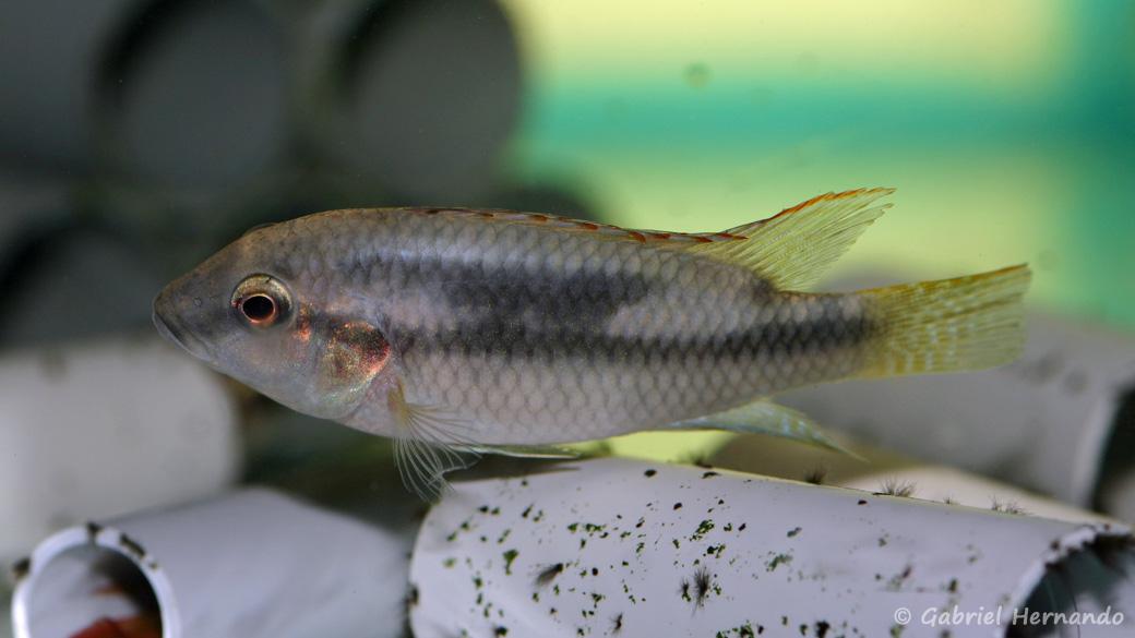 Benitochromis conjunctus (Aquabeek, Pays Bas, mars 2011)