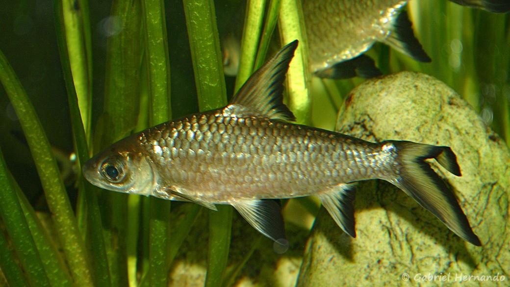Balantiocheilos melanopterus (club aquariophile de Vernon, juin 2004) - Spécimen surnommé Willy, du fait de sa nageoire anale tordue