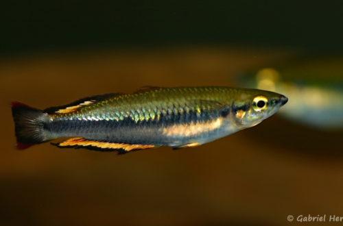 Bedotia cf. madagascariensis (Club aquariophile de Vernon, septembre 2009)