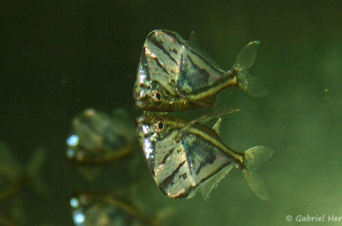 Carnegiella strigata (club aquariophile de Vernon, juin 2004)