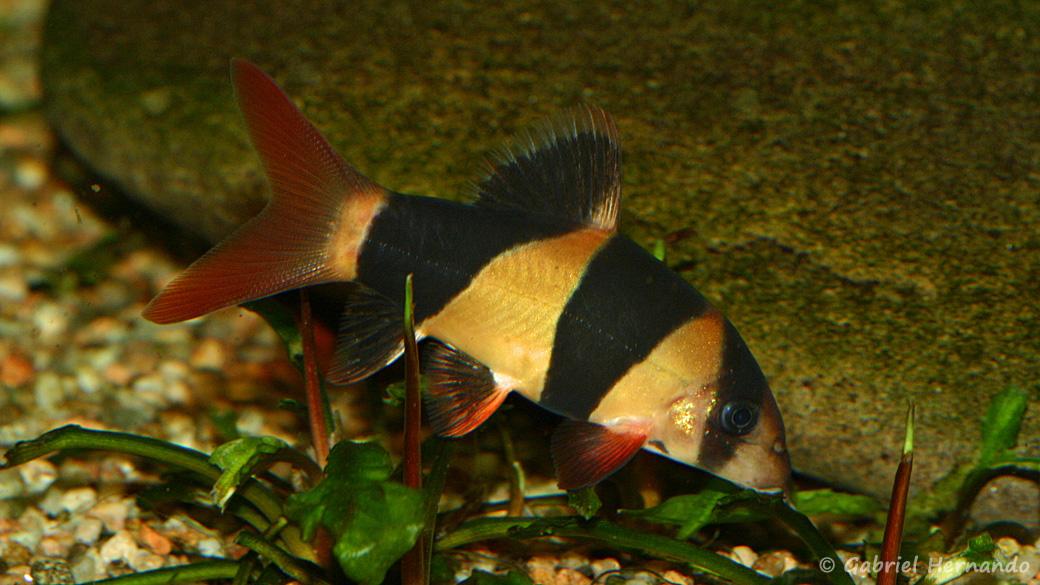 Chromobotia macracanthus (club aquariophile de Vernon, septembre 2008)