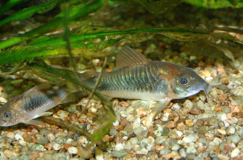 Corydoras aenus (club aquariophile de Vernon, juin 2004)
