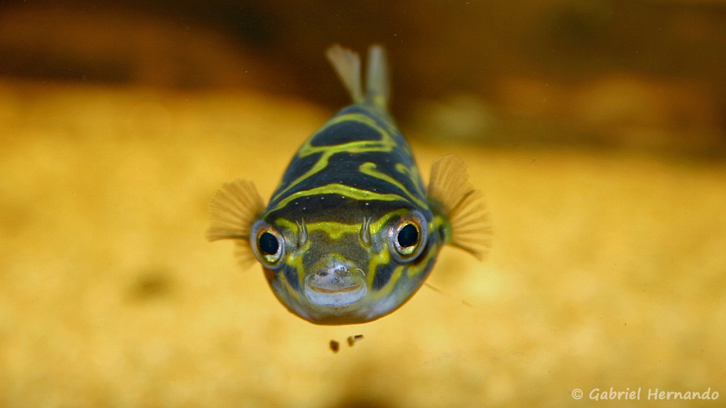 Dichotomyctere ocellatus (club aquariophile de Vernon, septembre 2006)