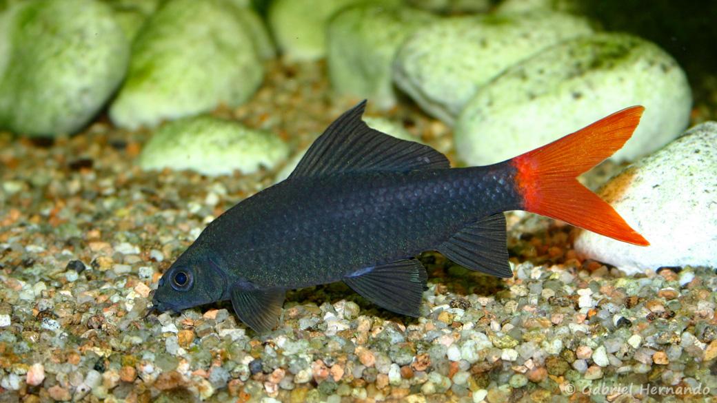 Epalzeorhynchos bicolor (club aquariophile de Vernon, juin 2004)