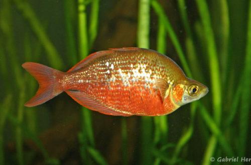 Glossolepis incisus (club aquariophile de vernon, juin 2004)