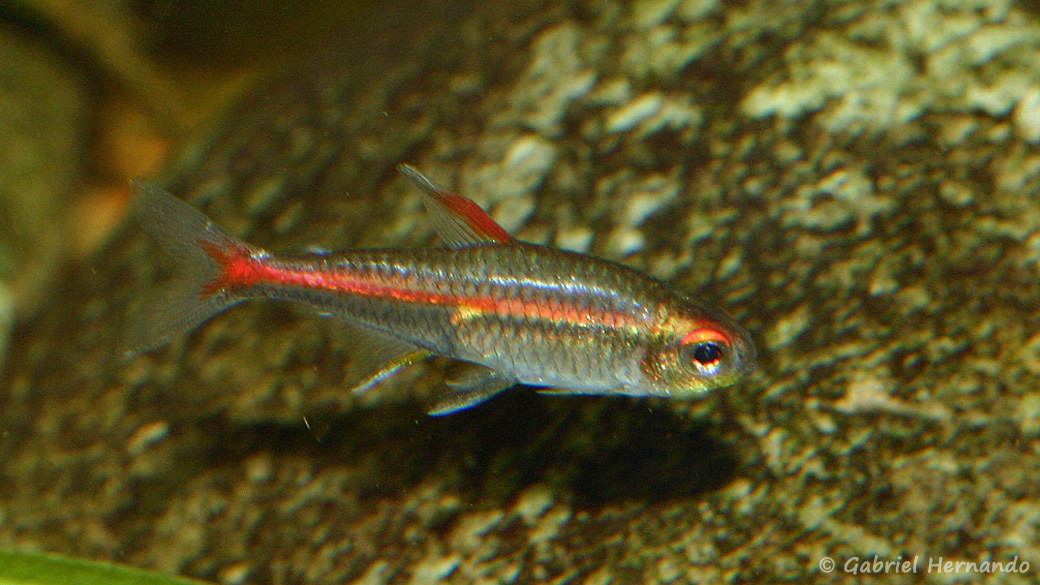 Hemigrammus erythrozonus (club aquariophile de Vernon, septembre 2008)
