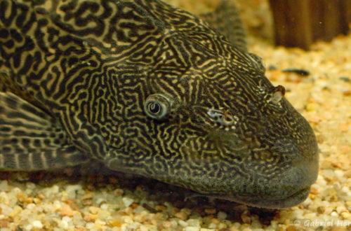 Hypostomus plecostomus (club aquariophile de Vernon, juillet 2003)