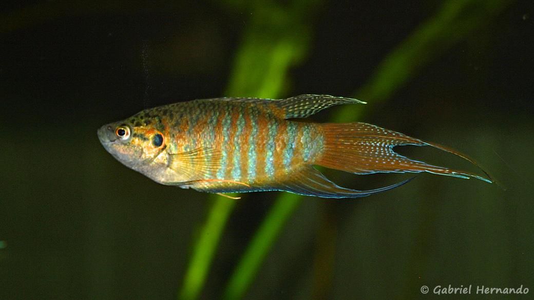 Macropodus opercularis (club aquariophile de Vernon, septembre 2008)