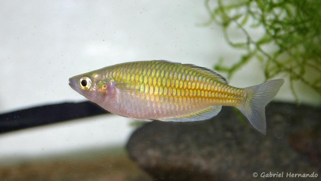 Melanotaenia boesemani  (club aquariophile de Vernon, janvier 2005)