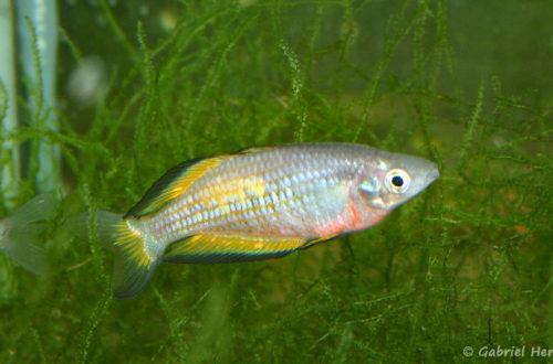 Melanotaenia parkinsoni (club aquariophile de Vernon, juin 2004)
