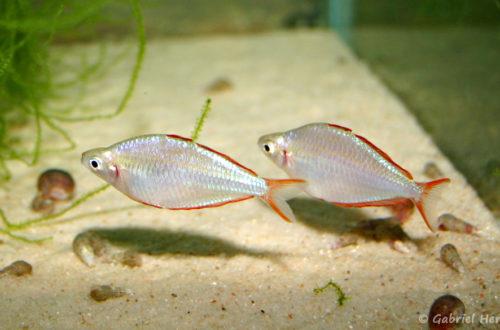 Melanotaenia preacox (club aquariophile de Vernon, juin 2004)