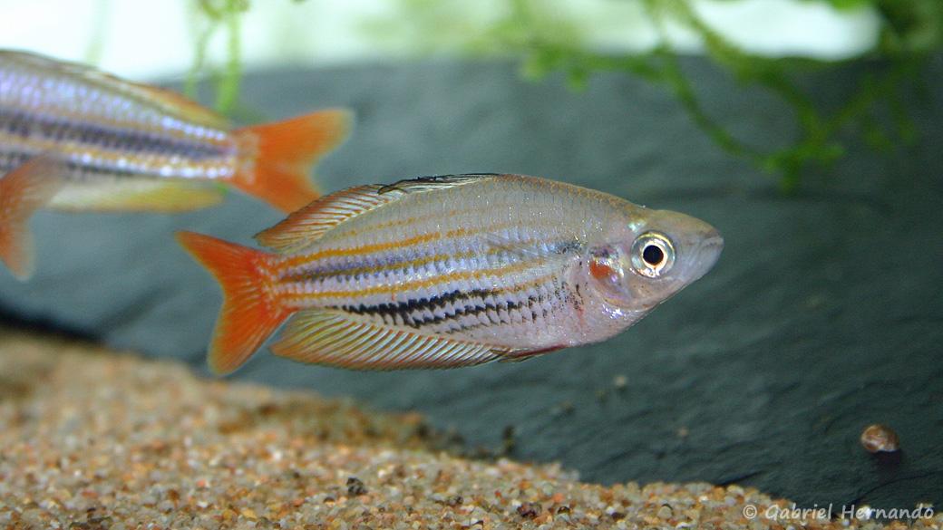 Melanotaenia trifasciata (club aquariophile de Vernon, janvier 2005)