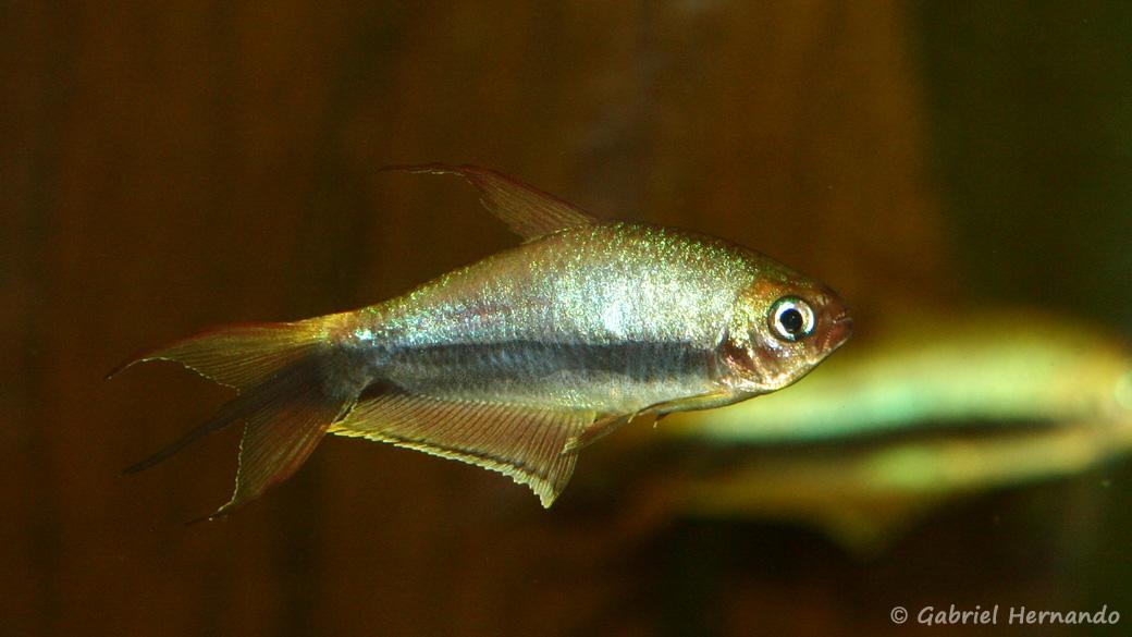 Nematobrycon palmeri (club aquariophile de Vernon, septembre 2008)