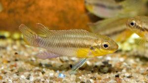 Pelvicachromis subocellatus (verduijn Cichlids, Pays bas, mais 2014)