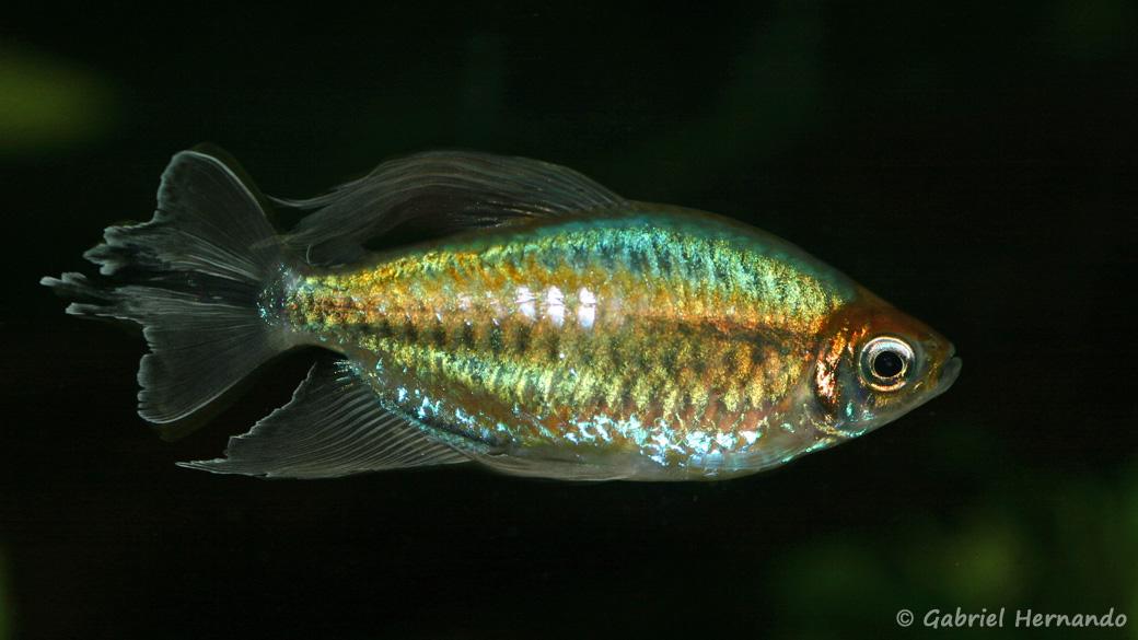 Phenacogrammus interruptus (Club Aquariophile de Vernon, septembre 2009)